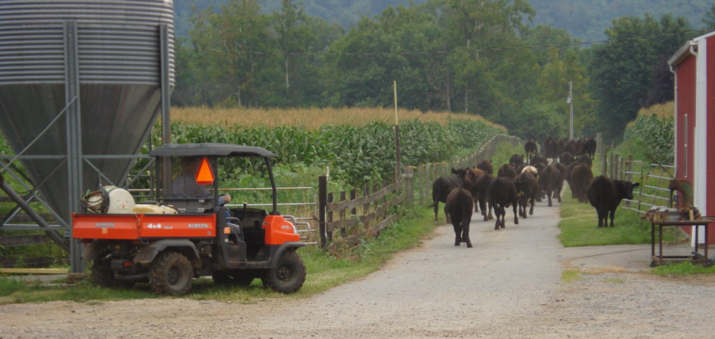 Farmer in a buggy corraling cattle